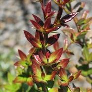 Berberis Wallichs Purple (9cm Pot)