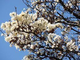 O ipê-branco é uma árvore decídua, de floração exuberante, nativa do cerrado e pantanal brasileiros. Ele apresenta tronco reto, com cerca de 40 a 50 centímetros de diâmetro e casca fissur...