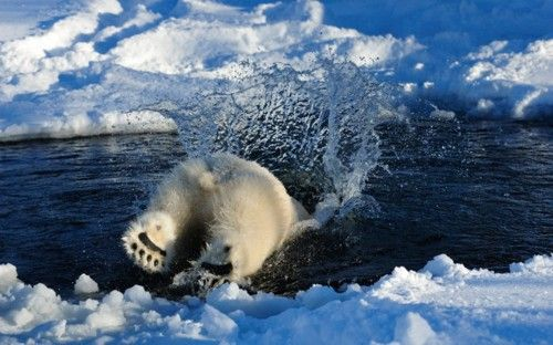 A polar bear plunges into the water in Norway. Photographer Steve Bloom has spent hundreds of hours in the Arctic regions photographing polar bears. We will have a gallery of his images on the Telegraph site later today. Picture: Steve Bloom Images / Barcroft Media