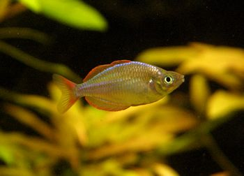 46 best images about fish wishlist on pinterest neon for Dwarf rainbow fish