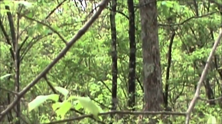 Fake or Real you decide (comment down below on what you think) This footage was uploaded by a unknown person. The video is of a birdwatcher who filmed a possible Bigfoot near the Tennessee/G...