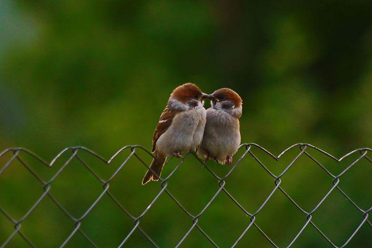 Tree sparrows.....cutie pies !