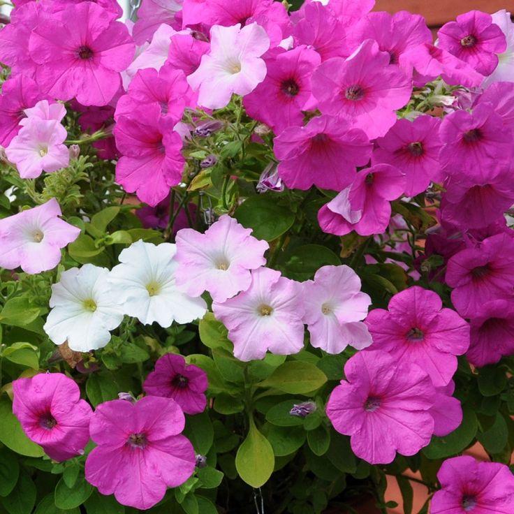 HÄNGPETUNIA F1 'Easy Wave Sweet Tart' i gruppen Ettåriga blomsterväxter hos Impecta Fröhandel (86403)