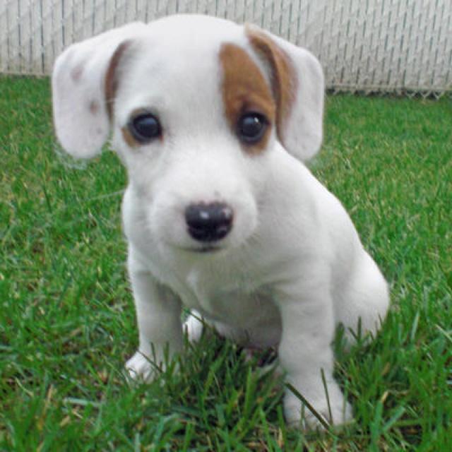 Jack Russell Terrier Spielzeug