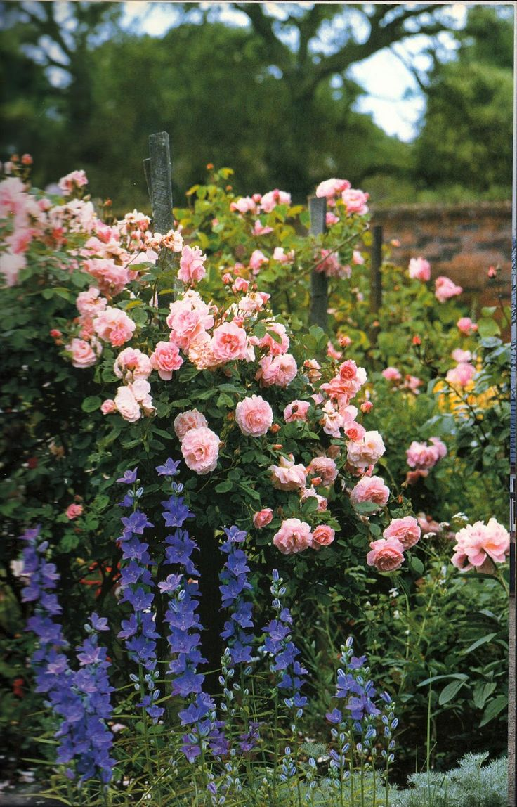 Roses and campanulas make for a pretty country garden