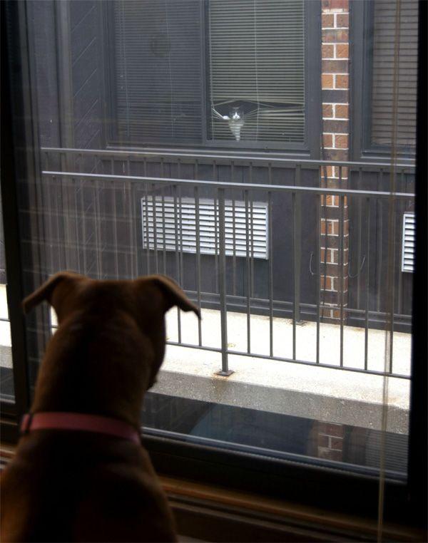 Tense Standoff Between Pit Bull & Neighbor's Cat