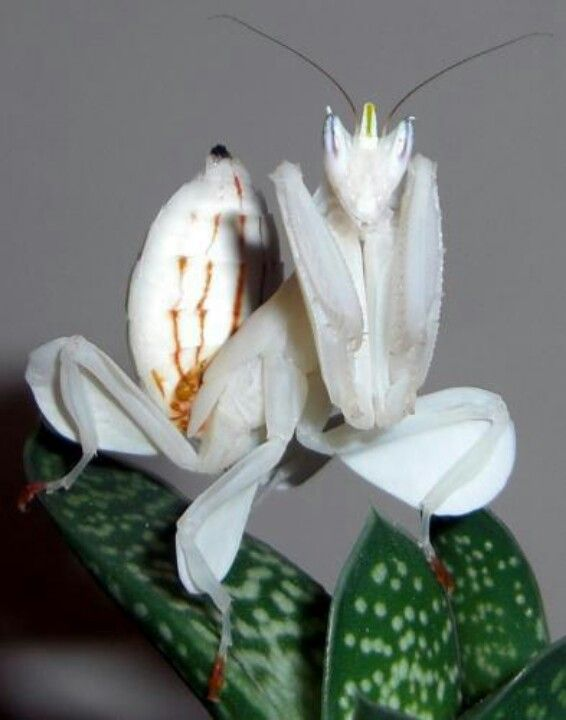 Orchid mantis - Hymenopus coronatus...which is the mantis and which is the flower!?...it's all mantis!