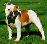 Australian bulldog with an affectionate, outgoing nature. Like to go swimming!