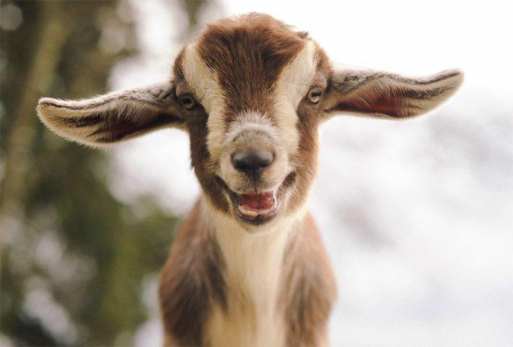 Cute Mini Nubian Goat
