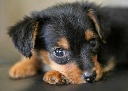 Piper the Yorkie / Mini Dachshund Pictures 8950...O...M...G!!!! FREIKIN' CUTE!