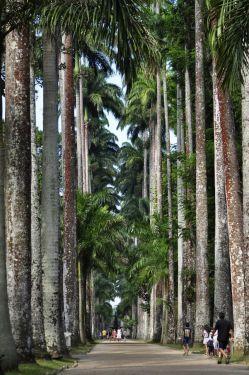 Palm tree alley found in Rio de Janeiro's Botanical Garden in #Brazil