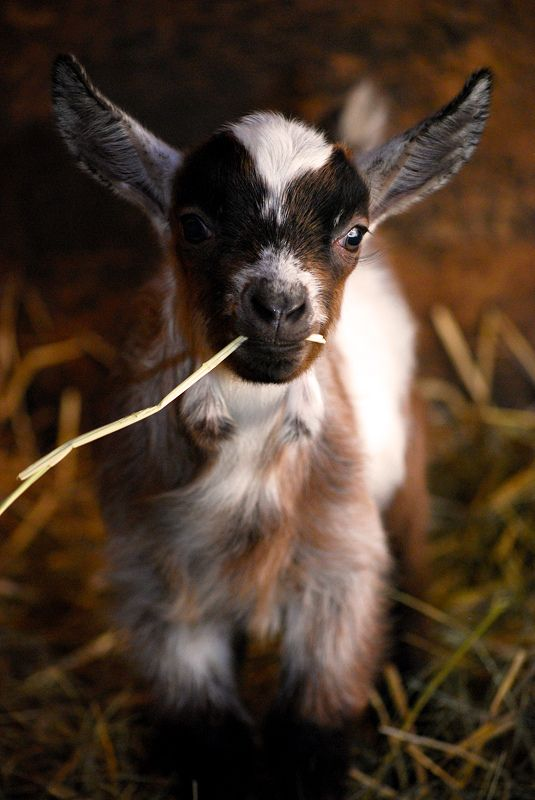 wikiHow to Disbud (Prevent Horns) in a Baby Goat -- via wikiHow.com  (I like goats......