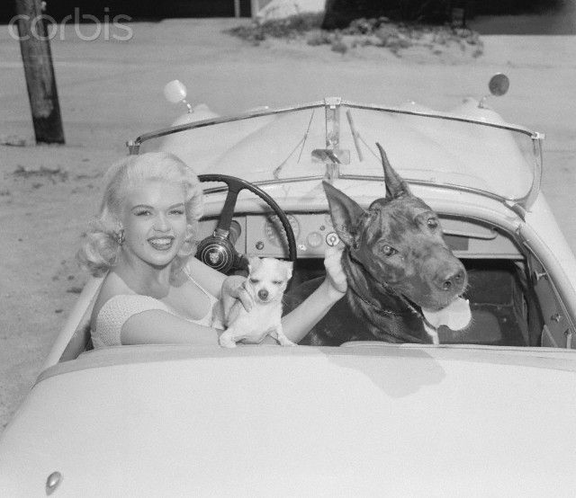 Jayne Mansfield in car with Her Dogs