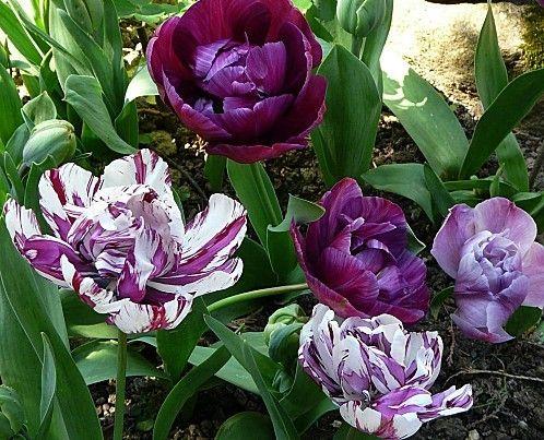 """104- Tulipes panachées- § JARDIN LE NÔTRE: ...sapins, épicéas, houx, chênes verts, pyracanthas, lauriers-tins, cyprès et buis en boule pour masquer les murs et, près des 6 grands portiques et treillage d'osier et de châtaignier sont cités: chèvrefeuille """"romain"""", lilas blanc et rouge, seringas, giroflées doubles et rosiers de Gueldre (viornes). - Chaville (Hts-de-Seine):  Le prince fait abattre les murailles qui séparent le parc de Chaville de celui de Meudon et le roi fait planter  ..."""