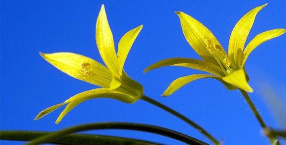 Самые первые весенние цветы в лесу - гусиный лук
