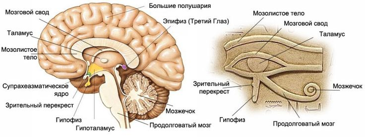 Мозг и Глаз Гора