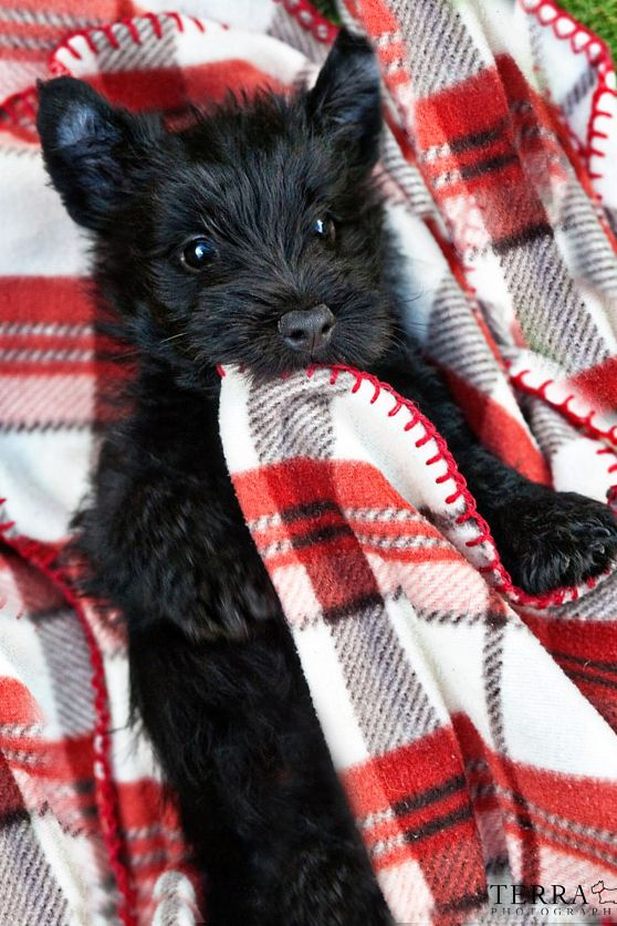 Warm and cozy Scottish Terrier Puppy