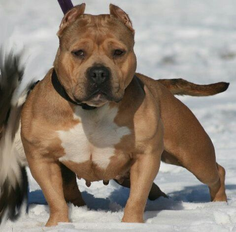 American bully Pocket Pit