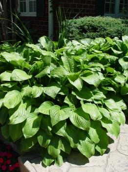Hosta Royal Standard    Hosta are made for the shade and work best when used in shade gardens and border plantings. Royal Standard Hosta have solid green ribbed leaves and grow up to 24in tall and wide. Produce white flowers in the summer months. Plant in part to full shade. Hardiness zones 3 to 8.