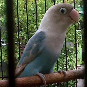 Berkicau Mania: Cara Perawatan Burung Lovebird Jantan Untuk Lomba