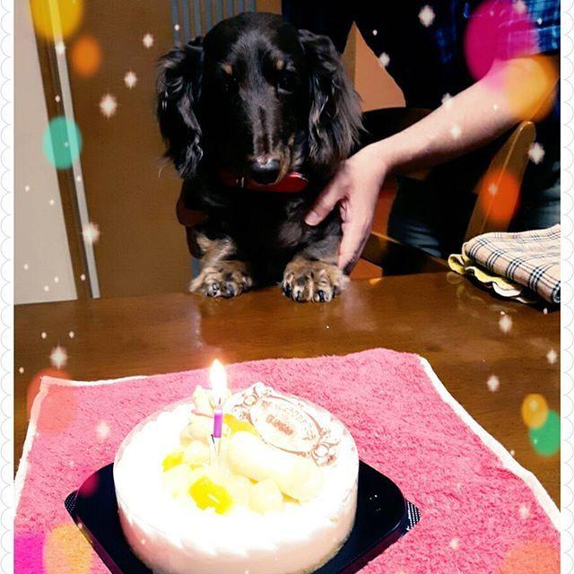 12歳になりました。 #happybirthday#愛犬#モカ#ワンコ用ケーキ
