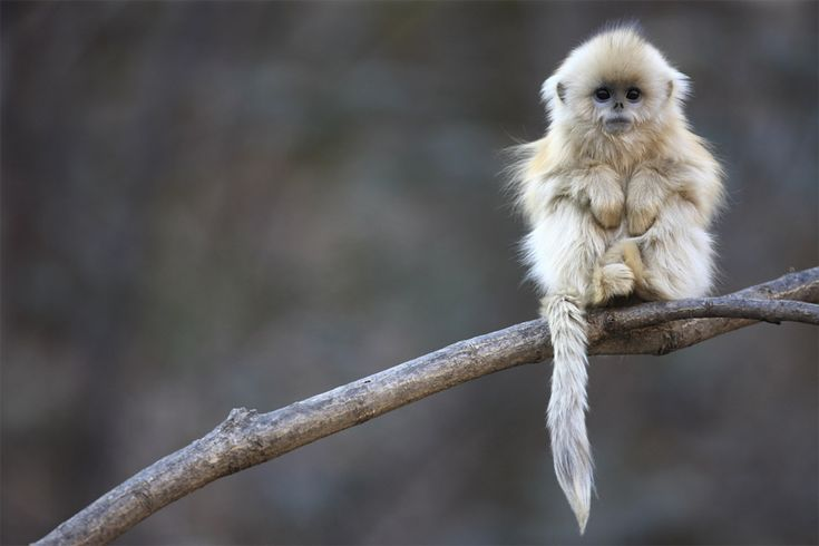 Golden snub nosed monkey: Baby Monkey, Animals, Creature, So Cute, Pet, Adorable, Snubnosed, Things, Snub Nosed Monkey