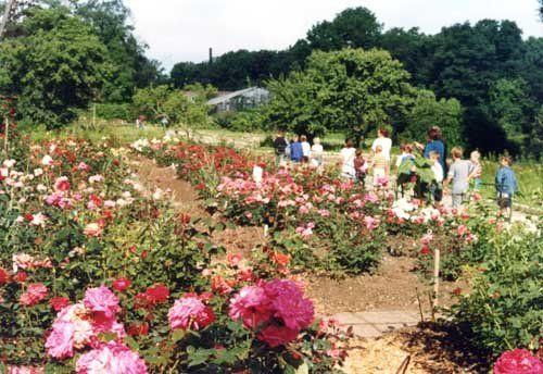 Особенности зимнего укрытия роз в Приморье