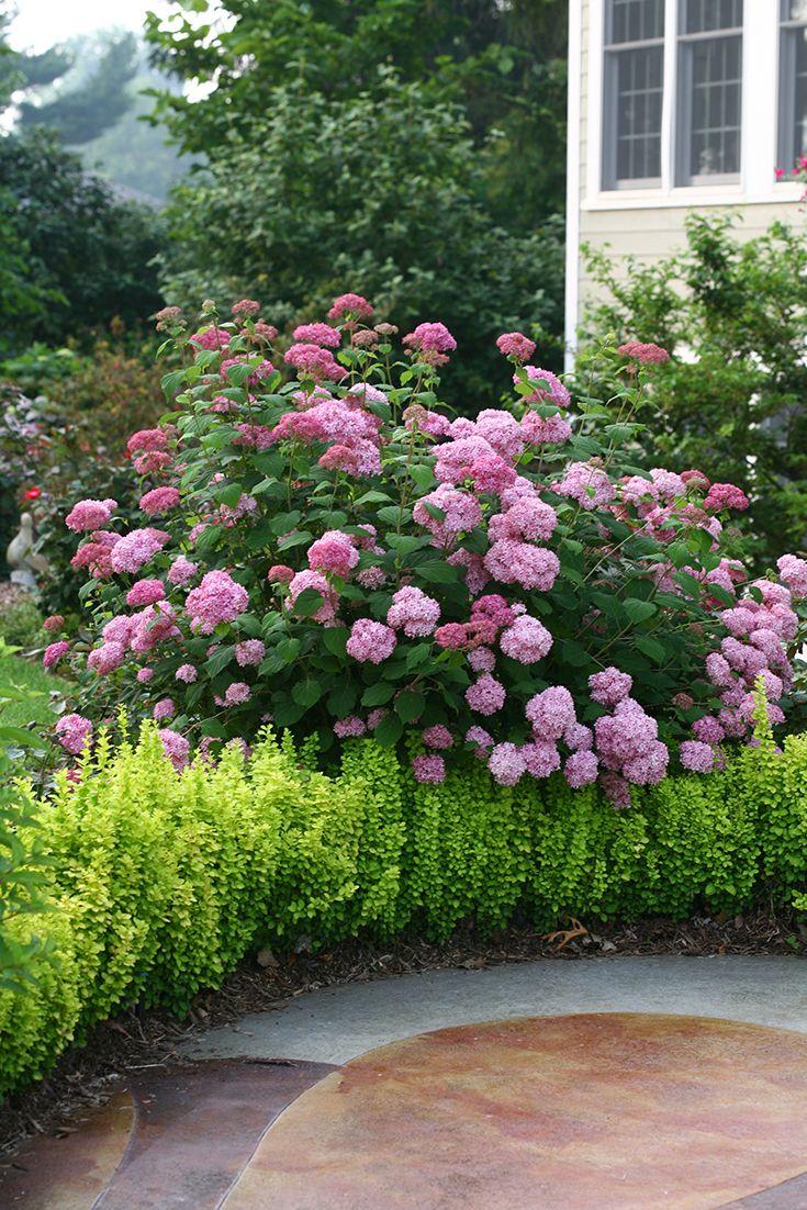 Invincibelle spirit ii smooth hydrangea hydrangea for Garden designs with hydrangeas