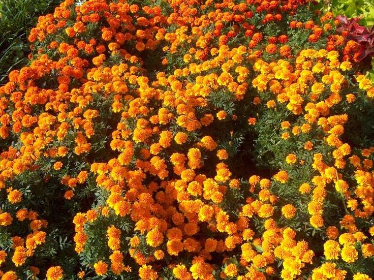 Marigold, African Marigold, Aztec Marigold