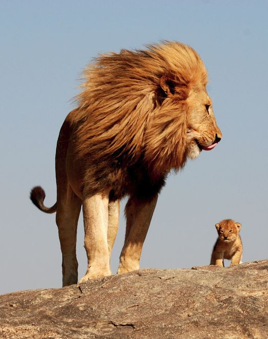 I've always loved Lions. So strong and beautiful. They grow to be so big, brave, and smart. I love this picture. I'd protect my child as a lion would his cub.