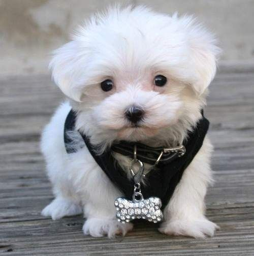 Teacup Maltese Puppies Pictures