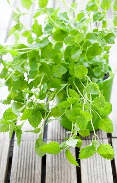 LEMON BALM If you're under mental or EMOTIONAL STRESS, teas provide soothing support—especially when you're feeling the effects in your gut. The ayurvedic herb gotu kola eases tension and restores energy, while lemon balm reduces stress and anxiety.
