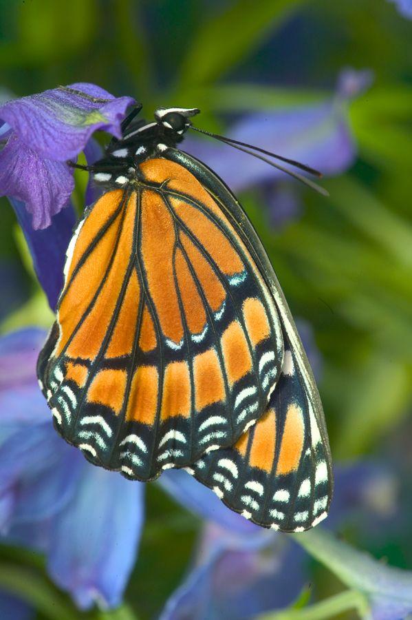 Viceroy Butterfly, Limenitis archippus,  photograph by:  Darrell Gulin
