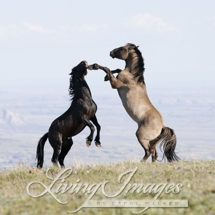 wild horses, mustangs, Pryor Mountains, Montana, USA, stallions playing   horse pictures   Pinterest   Horses, Wild horses and Horse pictures