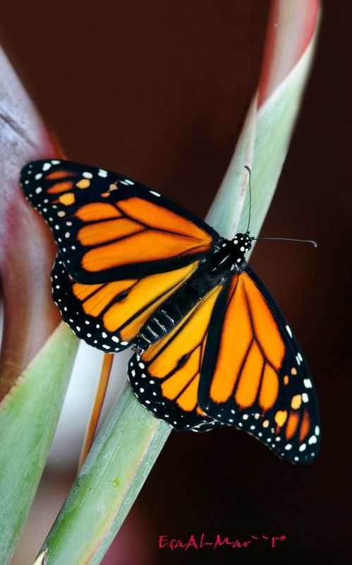 Danaus plexippus - Monarch.  Large butterflies; characterised by orange wings, a black apex, and white subapical spots. Males have a patch of raised androconial scales on the hind wings; bright colours advertise their poisonous qualities to birds