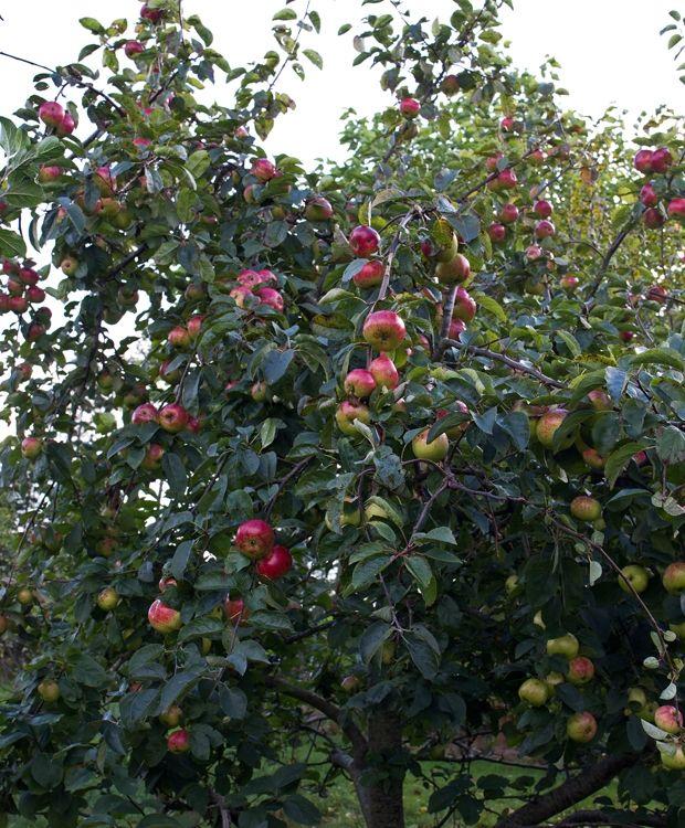 Sådan beskærer du et æbletræ   ISABELLAS