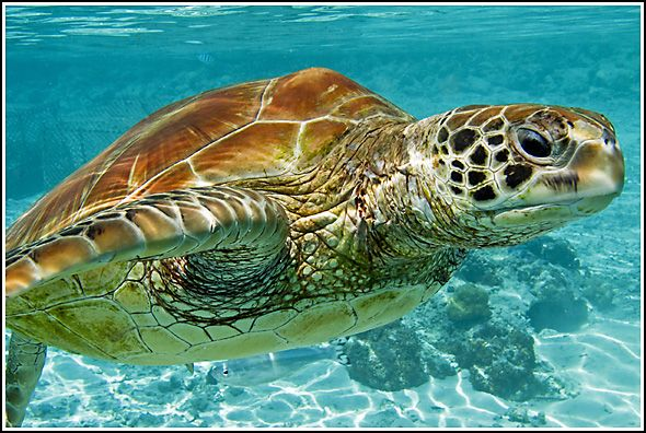 Green sea turtles migrate for about 1600 miles in water. Click on the pictures for more such interesting facts about green sea turtles