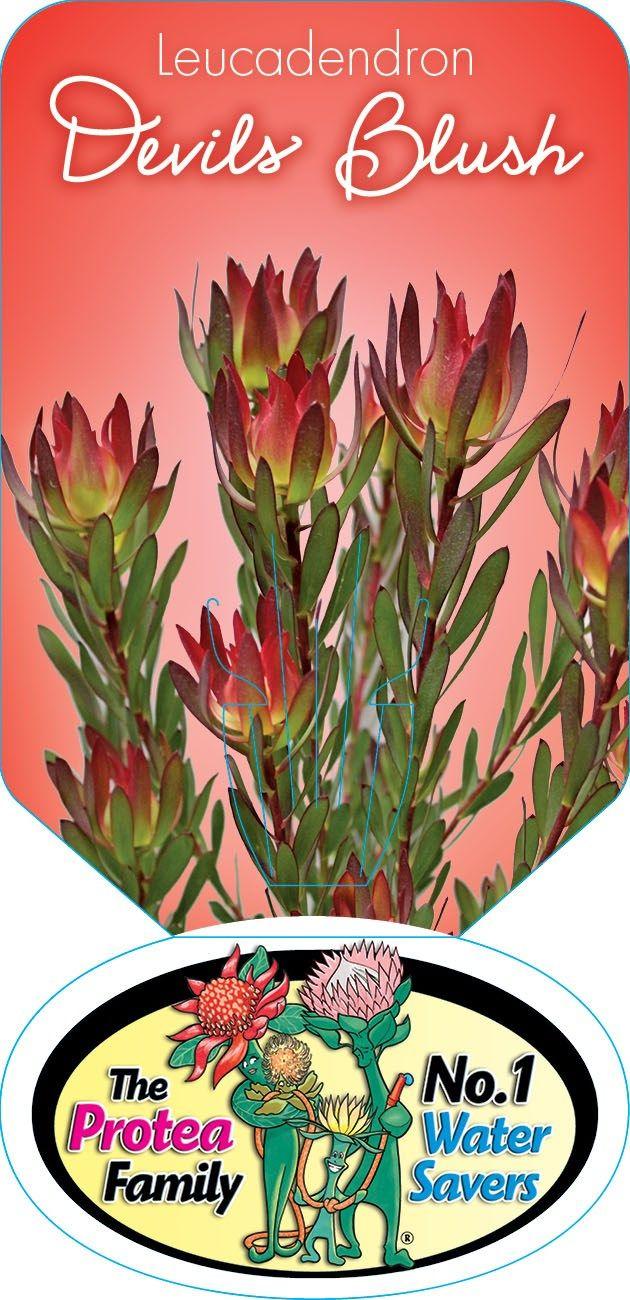 Leucadendron 'Devils Blush'
