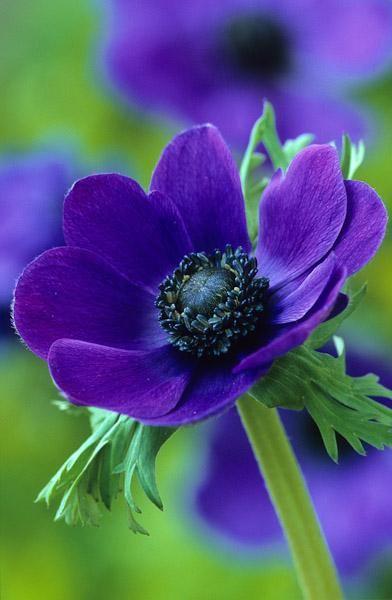 ~~Anemone coronaria 'Mr Fokker' | Sarah Raven~~