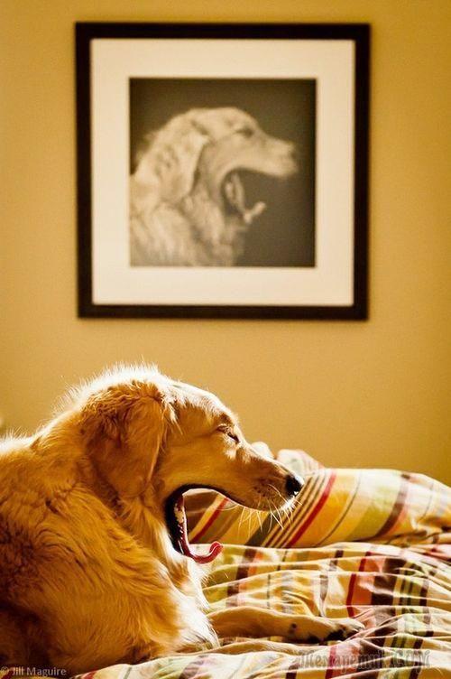 собака-зевака