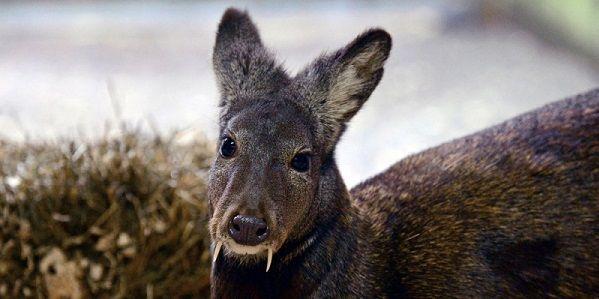 Uno strano cervo con zanne appuntite come quelle di un vampiro. Non si tratta di un fotomontaggio: questa creatura è reale. Si tratta di una specie rara da scovare, che si trova nella parte nord-est dell'Asia. Più di 60 anni dopo il suo ultimo avvistamento confermato, l'animale è stato ora osservato nelle aspre pendici boscose del nord-est dell'Afghanistan, secondo quanto riporta un gruppo di ricerca della Wildlife Conservation Society (WCS)