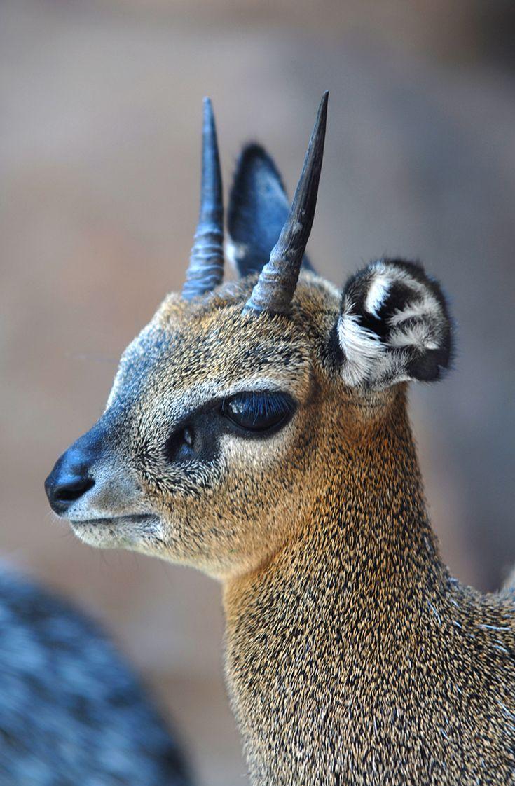 Africa | Klipspringer (Oreotragus oreotragus). | ©Rusty Dodson.