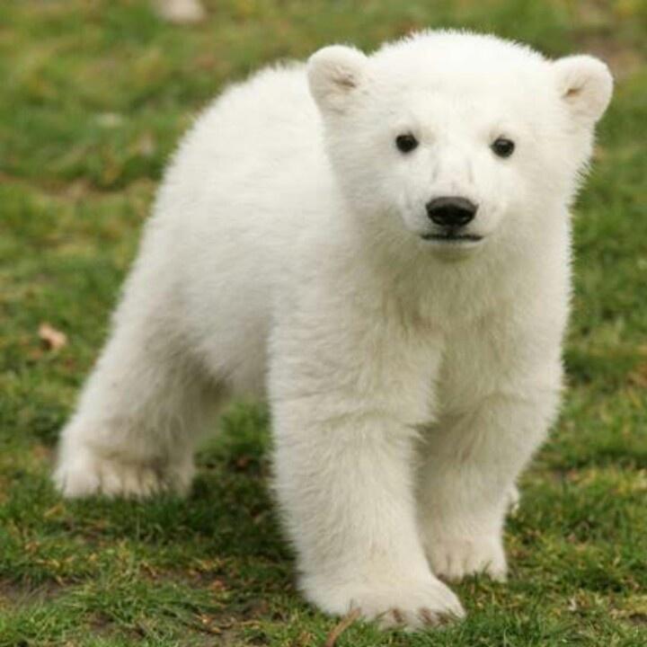 Baby Polar Bear | Bears-Bears-Bears | Pinterest