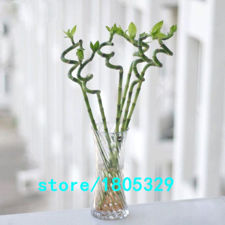 AAA Lucky Bamboo Seeds Small Potted Plants Purify the Air Dracaena Seeds Planting Is Simple DIY for Home & Garden 50PCS