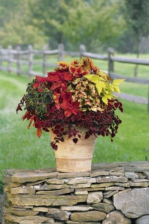 Coleus Container Garden. Great color addition without flowers for shade and now Sun gardens and pots. With the addition of new varieties that give way for planting ideas for sunny areas as well.