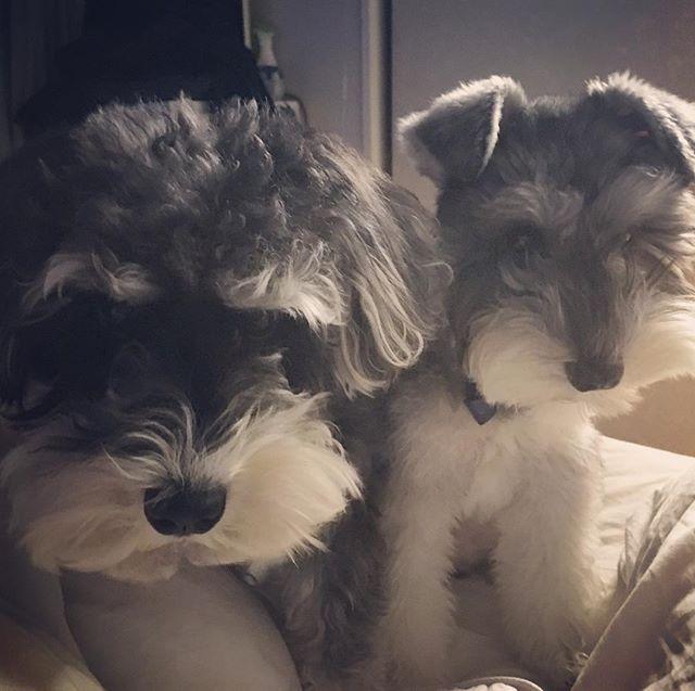 寝てたらガン飛ばして来る。 最近お天気がわるいから、あんまりジジトトの綺麗な写真が撮れていない。(自然光がないと暗い) #schnauzer #dog #doglover #dogstagram #シュナウザー #ミニチュアシュナウザー #犬 #わんこ #わんちゃん #わんちゃん友達が欲しい #愛犬 #jijitoto #puppy #多頭飼い