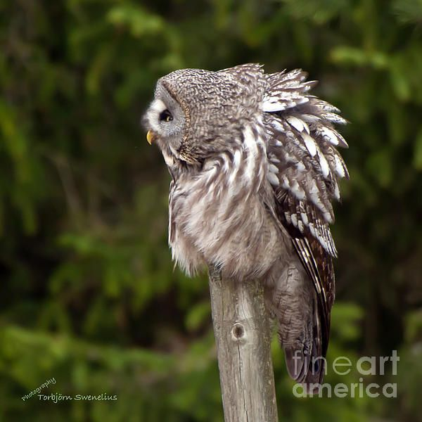 A Great Grey Owl (Strix Nebulosa) chuckles and see you while he sits on his favorite post tidying the plumage.
