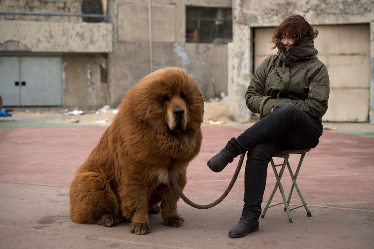 A Tibetan mastiff dog is displayed for sale at a mastiff show in Baoding, Hebei province, south of Beijing on March 9, 2013. Fetching prices up to around 750,000 USD, mastiffs  became a prized status-symbol among China's wealthy.. Owners say the mastiffs, descendents of dogs used for hunting by nomadic tribes in central Asia and Tibet are fiercely loyal and protective. Ed Jones/AFP/Getty Images