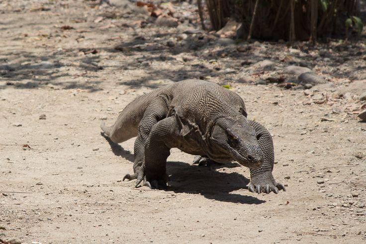 komodo dragon park,how about komodo attack ? visit komodo dragon island,bali and lombok island.