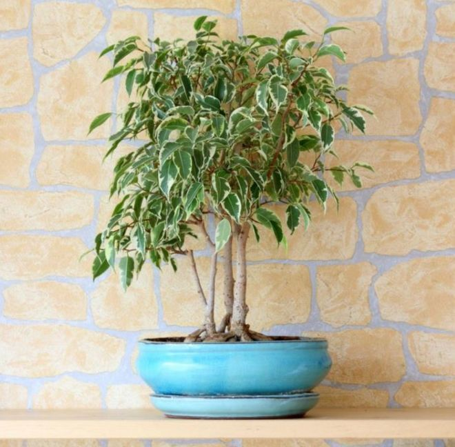 How To String Lights On A Ficus Tree : 71 best images about INDOOR TREES on Pinterest NASA, Plants and Trees